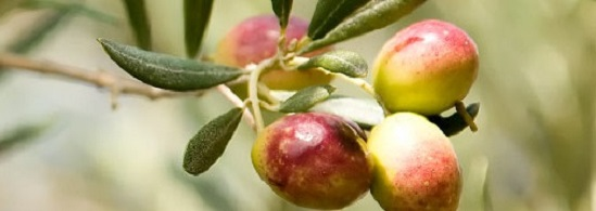 page-top-olives-on-tree